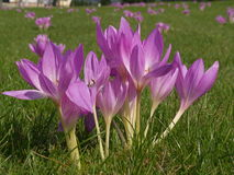 Colchicum autumnale Stock Photo