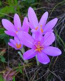 Colchicum Autumnale, Commonly Known As Autumn Crocus, Meadow Saffron Or Naked Ladies Royalty Free Stock Images