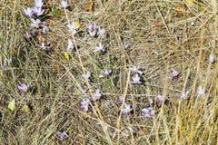 Colchicum autumnale flower on autumn lawn, Crimea Stock Image