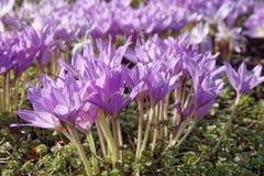 Colchicum de florescência das flores no jardim batanical do outono Fotos de Stock Royalty Free