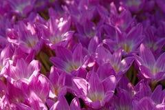 Colchicum de florescência das flores no jardim batanical do outono Foto de Stock