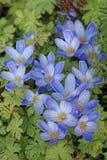 Colchicum de florescência das flores no jardim batanical do outono Imagem de Stock Royalty Free
