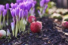 Colchicum del fiore di autunno, simile alle primaverine della molla Fioriture tossiche del Colchicum in autunno tardo immagini stock libere da diritti