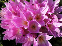 Colchicum. Delicate flowers kolhikum on a background of grass Stock Photo