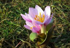 Free Colchicum Flower In Alborz Mountains During Early Spring Stock Photography - 159834662