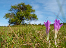 Colchicum flowers of the field Stock Photos