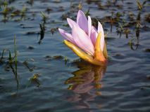 Free Colchicum Flowers Of Alborz Mountains In Melting Snow Water Stock Photos - 159834683