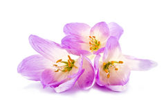 Colchicum gorgeous bouquet Royalty Free Stock Images