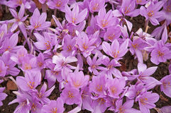 Colchicum Royalty Free Stock Photo