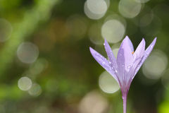 Colchicum lusitanum. Paruqe Natural Portugal Royalty Free Stock Photography