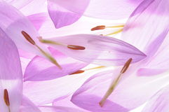 Colchicum petals Stock Photos