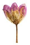 Colchicum pressé et sec de fleur, d'isolement Photographie stock libre de droits