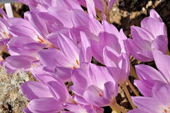Colchicum Royalty Free Stock Image