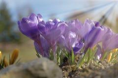 Colchicum, purpur i koloru żółtego wiosna, kwitnie w ogródzie Backlight światło słoneczne Zdjęcia Royalty Free