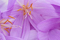 Colchicum Royalty Free Stock Photos
