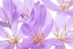 Colchicum Stock Images