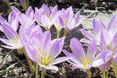 Colchicumhöst Royaltyfria Bilder