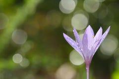 Colchicumlusitanum Royalty-vrije Stock Fotografie