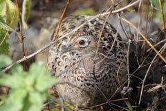 colchicus公用phasianus野鸡 免版税库存照片