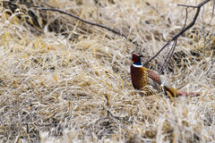 colchicus收缩的phasianus野鸡环形 免版税图库摄影