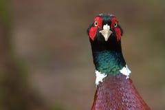 colchicus phasianus野鸡 库存照片