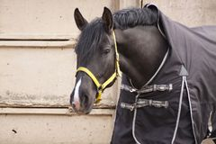 Horse crow in a blanket on a gray concrete wall royalty free stock image