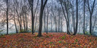 Cold autumn morning in maple forest. Cold and misty autumn morning in a maple foorest stock photography