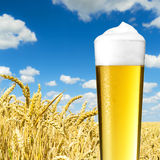 Cold beer (pils) with dew on a cornfield Stock Photo