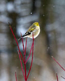 Cold bird. American goldfinch looking out contemplatively, perched on red twig dogwood in the snow stock images