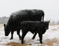 Cold Black Calf. A young calf sticks closely to its mothers side during a cold, snowy, winters day Royalty Free Stock Images