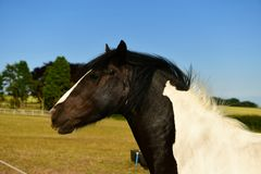 Cold-blooded horse, black and white marks. Coldblood draft horse on a farm in the UK Scarborough, strong and massive horses Are usually calmer, less mobile and royalty free stock images