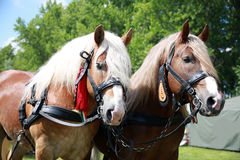 Cold-blooded horses in front of the horse carriage Stock Images