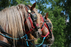 Cold-blooded horses in front of the horse carriage Royalty Free Stock Photography