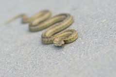 Cold-blooded viper is warming body on an autumnal asphalt. Natural reality - cold-blooded viper is warming body on an autumnal asphalt (shallow dof stock photography