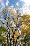 Cold blue autumn sky and trees with yellow gold leaves Stock Image