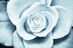 Cold blue rose Royalty Free Stock Photos