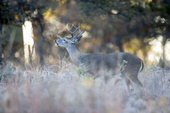 Cold Breathe. Early Morning Whitetail Buck Breathing out cold air Stock Photos