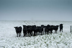 Cold calves. A herd of curious calves standing in a snow covered field Stock Photography