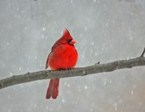 Cold cardinal Stock Photo