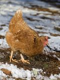 Cold chicken Royalty Free Stock Image