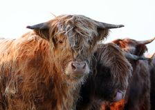 Cold cow. Scottish highland cowin winter, close up Stock Photo