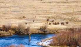 Cold day fishing. Ice and snow formed along the bank of a clear mountain river in a Rocky Mountain early winter show this fisherman is out for a cold day of Royalty Free Stock Photography