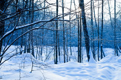 Cold day inwinter forest Royalty Free Stock Photography