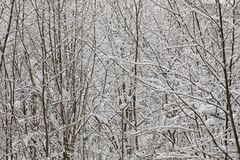 Trees branches covered with snow Stock Images