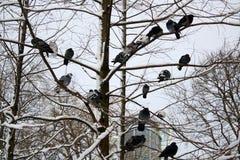 Pigeons on snowy tree branch stock photos