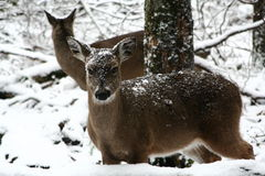 Cold Deer Royalty Free Stock Image