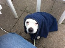 Cold dog. Staffy wrapped jumper towel Stock Images