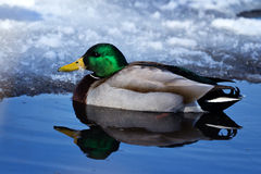 Cold Duck. Lone male mallard duck in icy cold water Stock Photography