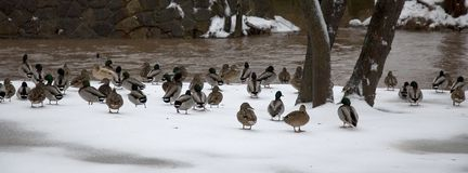 Cold Duck. Several ducks stand next to a swollen river after a major ice storm has moved through Stock Photos