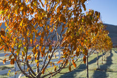 Cold fall morning trees on a white fence line Stock Photography